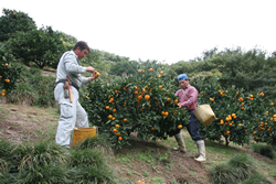 温州みかんの収穫